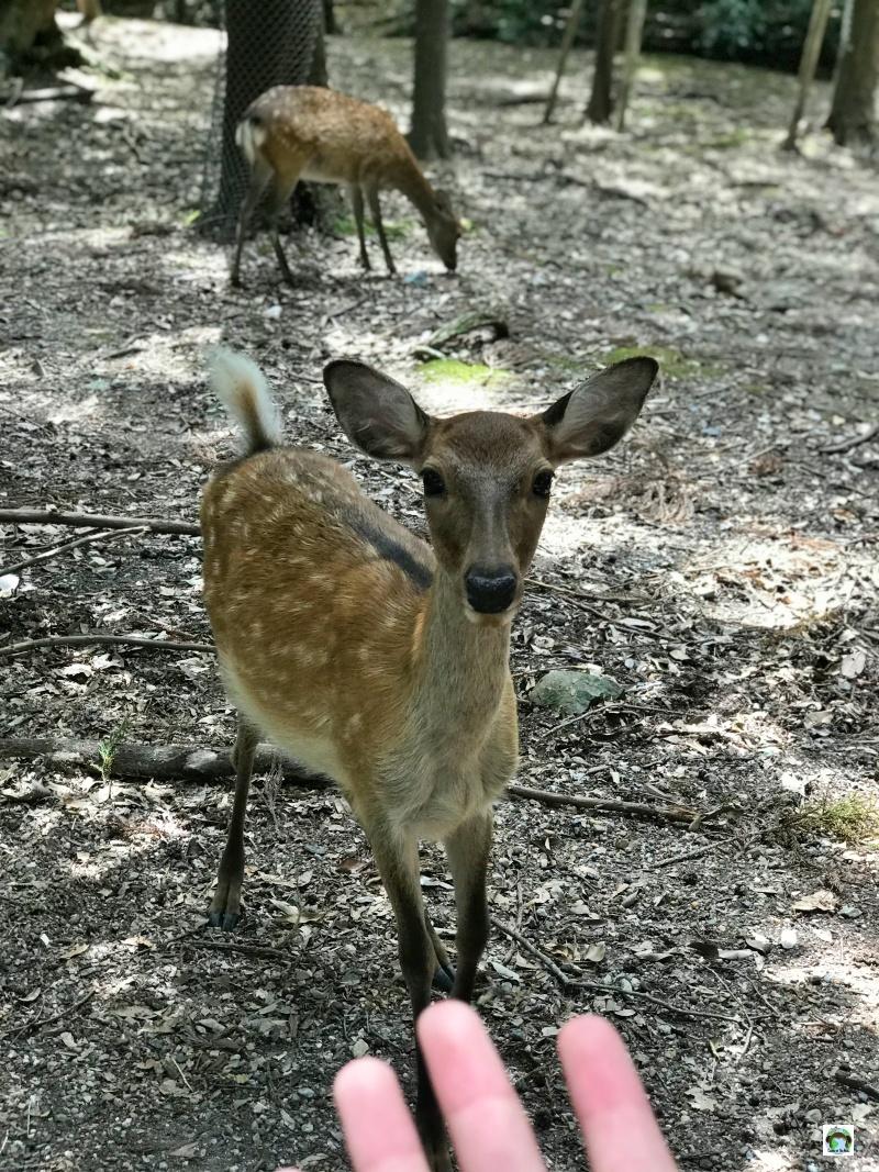 parco di Nara cervi