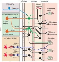 enteric nervous system diagram [ 798 x 1008 Pixel ]