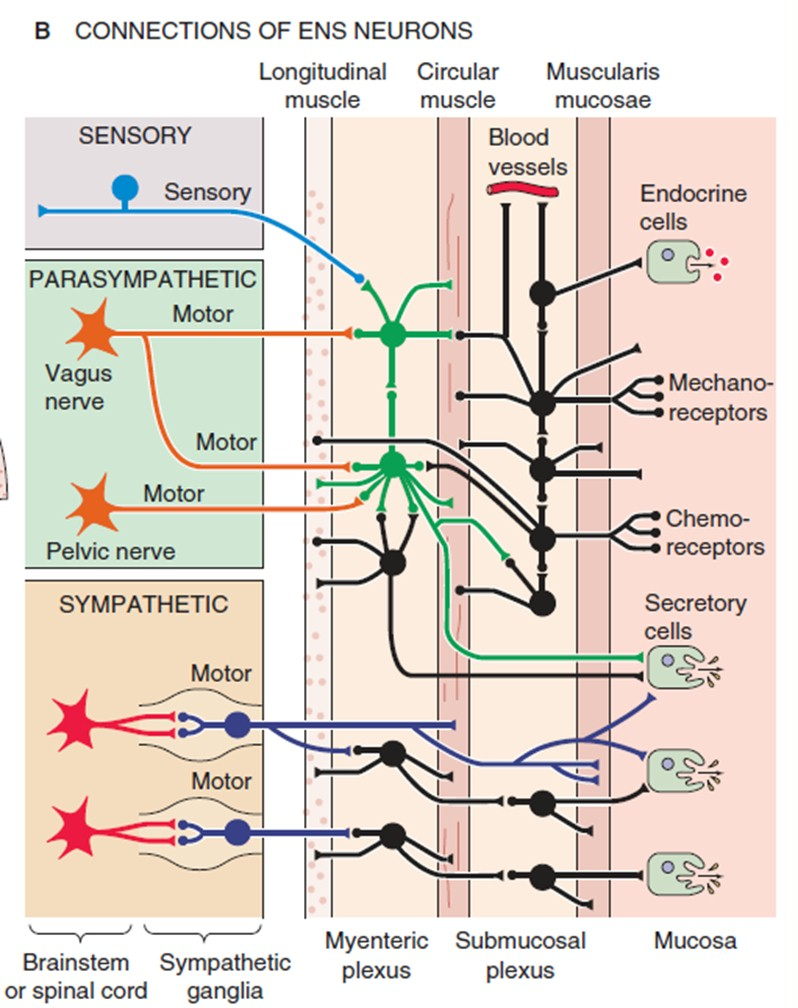 hight resolution of enteric nervous system diagram