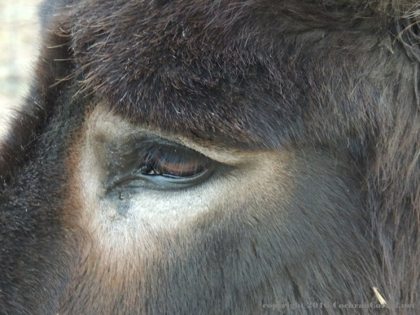 Closeup of the eye and fur of the face of a donkey.