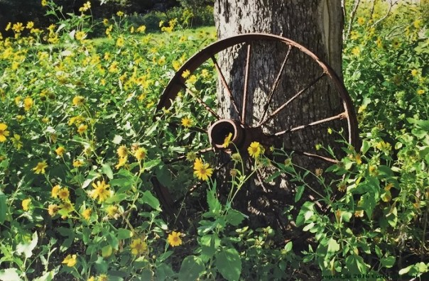 Old, rusty farm implement wheel leaning against a tree in a field of yellow flowers.