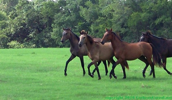 Three yearling horses walking briskly across the green pasture with trees in the background.