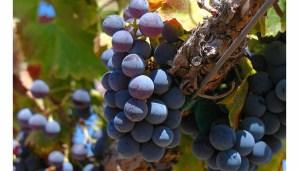Las diferentes variedades de garnacha y sus vinos - diccionario de uvas para vinos