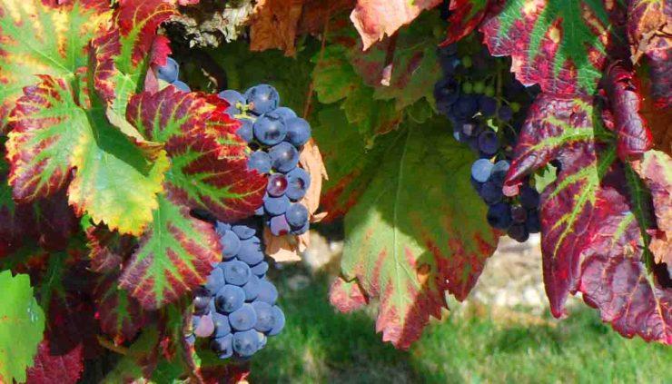 Cariñena, mazuelo o samsó,: características de la uva y sus vinos - diccionario de uvas para vinos