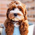 cockapoo puppies available for sale now