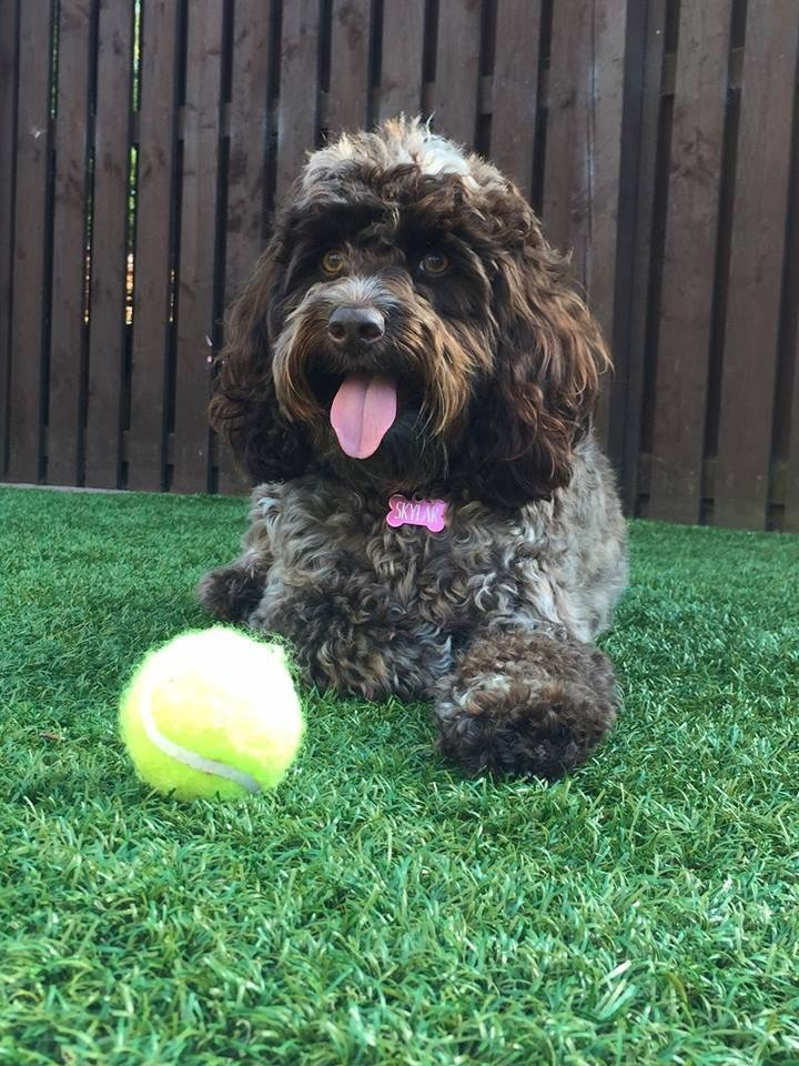 Brindle Cockapoo