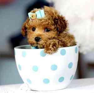 Teacup Cockapoo | Cockapoo For Life