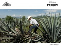 patron-tequila-blue-weber-agave-ernte