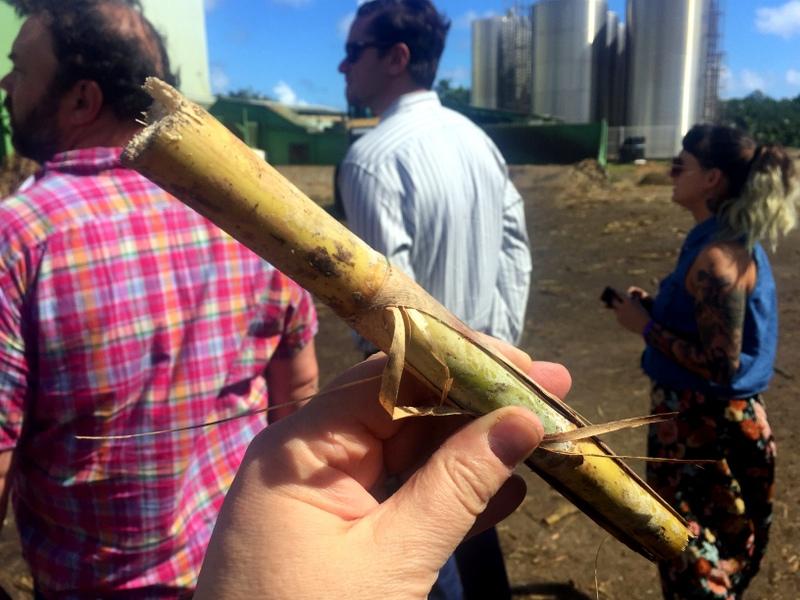 Fresh cut sugar cane, Martinique
