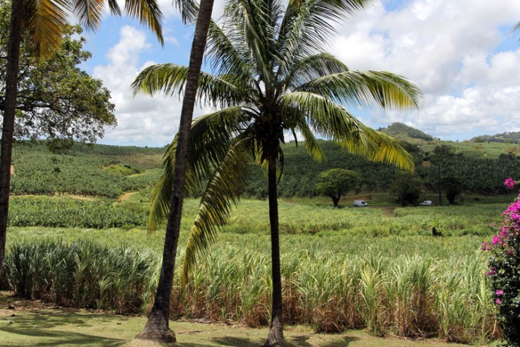 Sugar cane field, Martinique