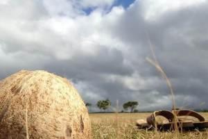 ココナッツの実_ハワイの空
