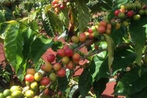 コーヒー豆_ボランティア