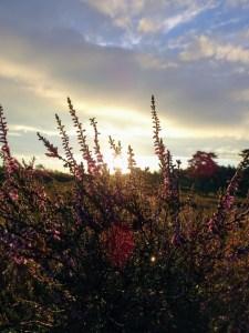 Heide im Sonnenaufgang