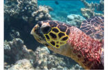 Sea Turtle Identified as HK7 Isabella by Coco Collection