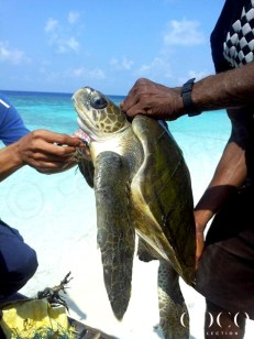 Associates rescuing an Olive Ridley Sea Turtle