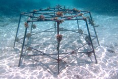 Coral Frame planted in the Coco Bodu Hithi lagoon in October 2012