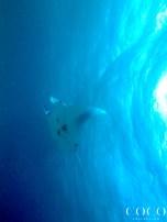 newly identified male Manta Ray M3293 SHAFFI