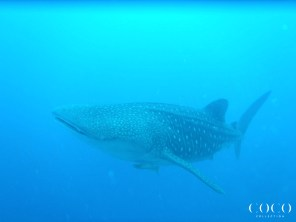 Our only identified Whale Shark at Coco Collection: WS177, Andrea