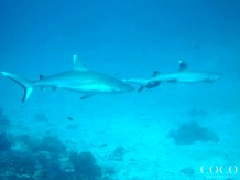 A Grey Reef Shark and a Whitetip Reef Shark swimming at Shark Point, North Malé