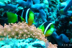 Another species of clownfish living in Maldives: The Clark's Anemonefish (Amphiprion clarkii) in its Bubble-tip anemone (Entacmaea quadricolor) at Muthaafushi Thila, Baa Atoll, close by Coco Palm Dhuni Kolhu