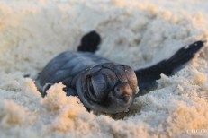 The well renewed cuteness of the green sea turtle hatchling