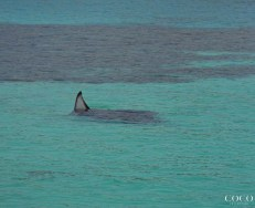 To find a reef Manta Ray watch out for a fin sticking out of the water