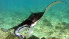 The fish I fell in love with: The Magical Manta Ray