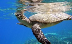 HK283 BEANIE taking a deep breath at Bodu Hithi Turtle Point