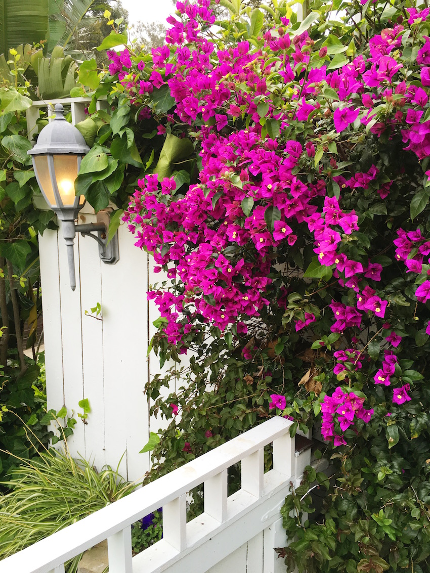 hollywood hills garden bougainvillea white fence