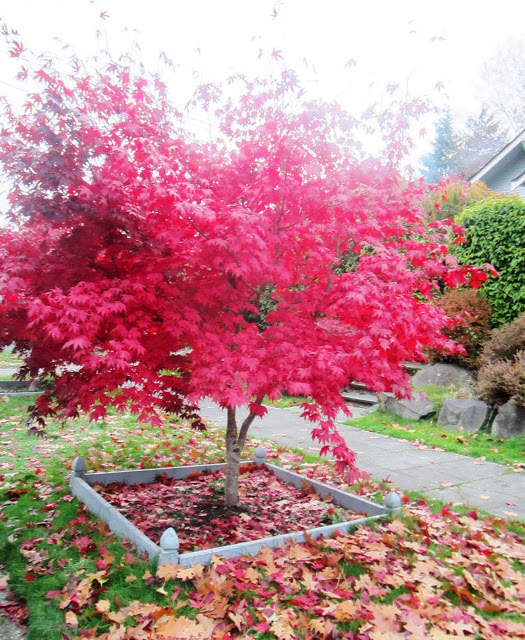 Maple tree with all of it's leaves bright red in fall