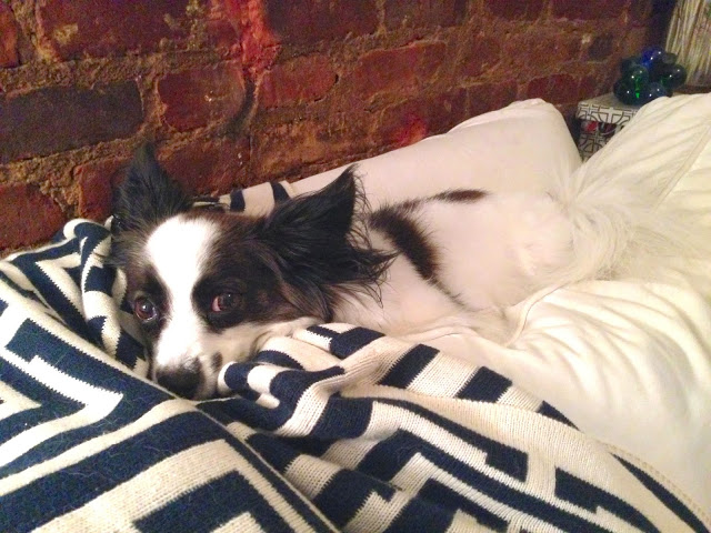 Black and white Papillon with a navy COCOCOZY Logo Throw