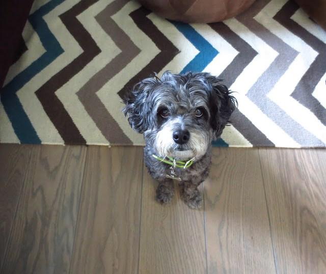 Mr Boo chinpoo chin poo dog puppy doggy poodle mix black gray beard cute chevron rug wood floors