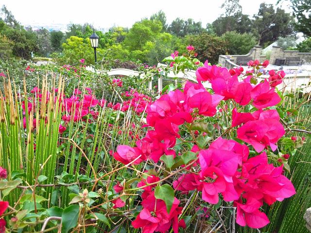 Greystone Mansion garden hot pink bougainvillea flowers estate