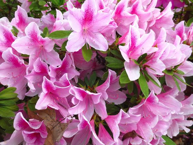 pink azalea azaleas flowering flower bush shrub plant garden bloom blossom