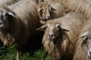 Picture: Albanian sheep