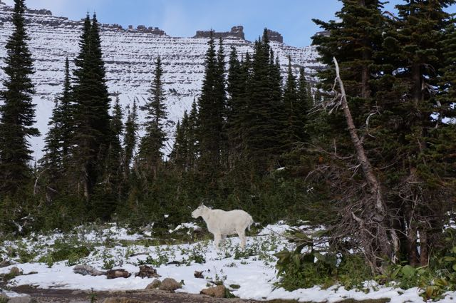 Mountain goat in Glacier National Park, Montana, USA. Photo: Eeva Routio.