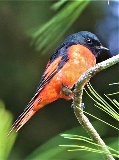 The short-billed Minivet of Doin Ang Kang in Chiang Mai can thank whoever named it for years of therapy bills.