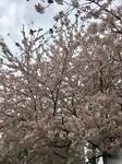幼稚園 桜.jpg