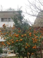 Bu mevsimde gidince Portakal ağacı karşınıza çıkarsa şaşırmayın