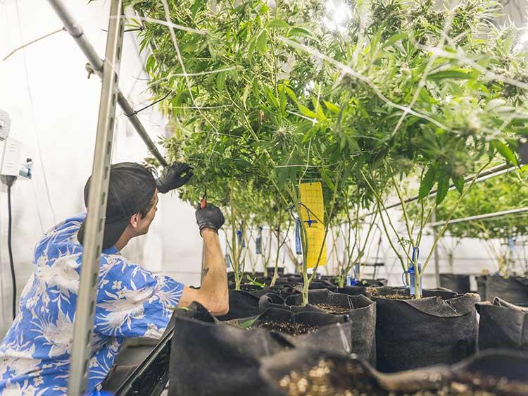 Legal Marijuana Industry Jobs  Monstercom