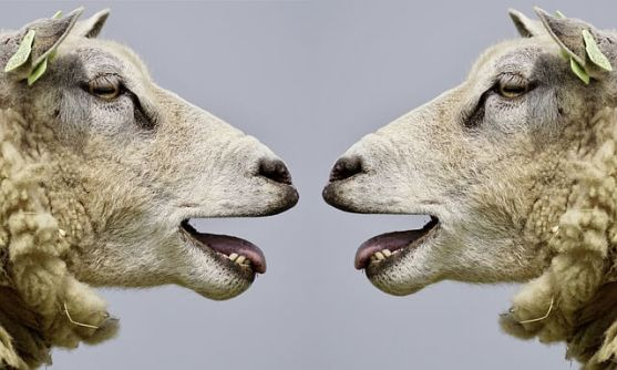 Sheep trying to communicate