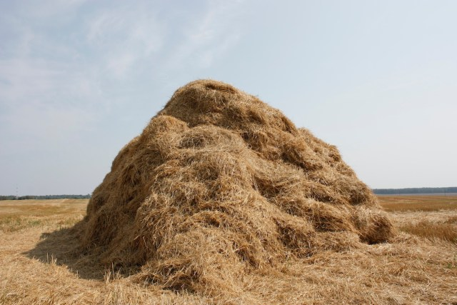 Large pile of loose hay - no bales