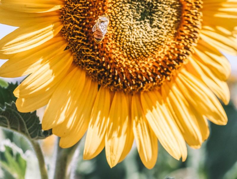 Sunflower Fields in Warwick - Codie Zofia