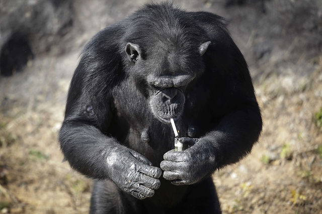"Azalea, whose Korean name is ""Dallae"", a 19-year-old female chimpanzee, lights a cigarette at the Central Zoo in Pyongyang, North Korea on Wednesday, Oct. 19, 2016. According to officials at the newly renovated zoo, which has become a favorite leisure spot in the North Korean capital since it was re-opened in July, the chimpanzee smokes about a pack a day. They insist, however, that she doesn't inhale. (AP Photo/Wong Maye-E)"