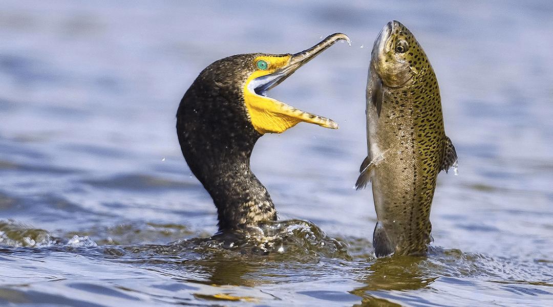 Existe un parásito que vive en el ojo de los peces y los guía al suicidio