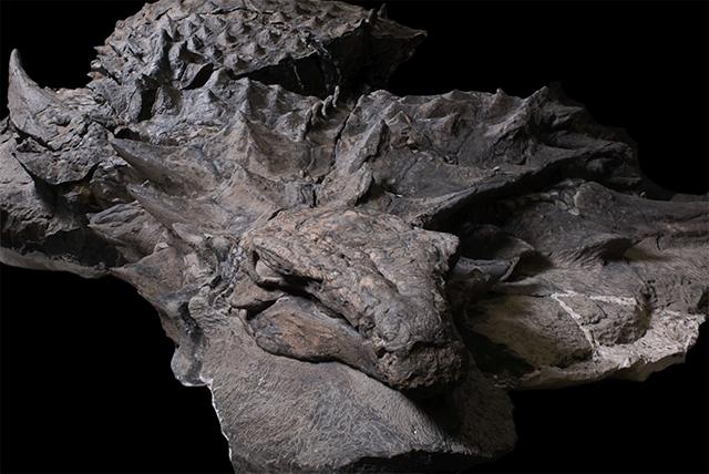 Fosil de un primo del anquilosaurio
