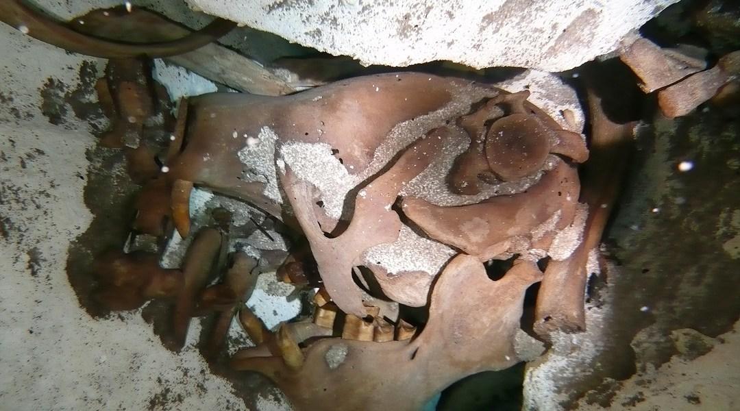 Cráneo del Xibalbaonyx oviceps encontrado en Quintana Roo