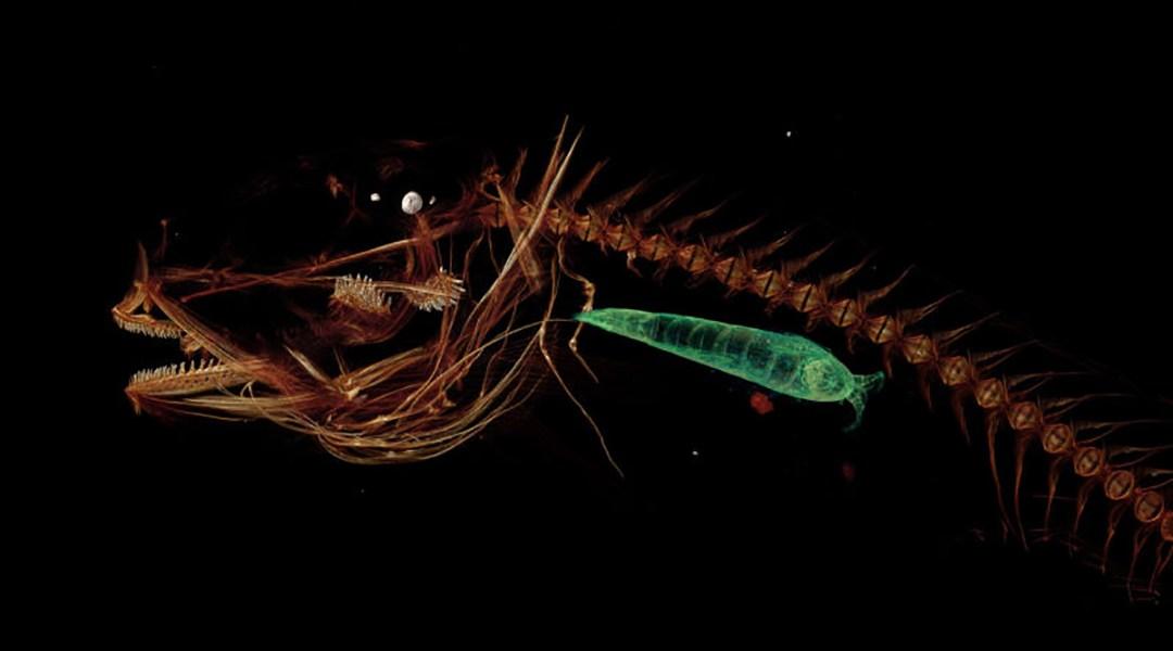 El asqueroso pez que habita en lo más profundo del océano