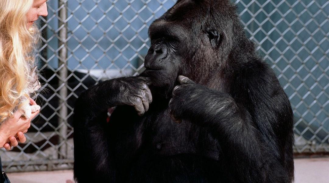 Resultado de imagen para koko el gorila