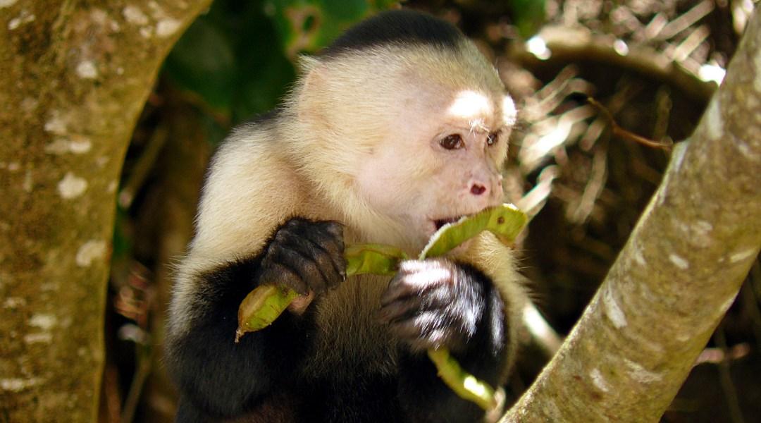 ¿Monos capuchinos panameños están entrando a Edad de Piedra?